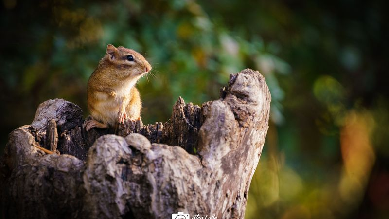 Have you seen a chipmunk in Eastern North Carolina? N.C. Wildlife needs your help!