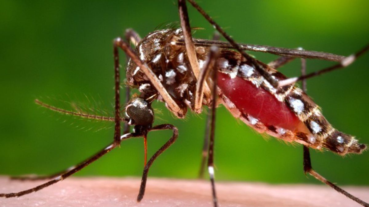 Aedes aegypti, the species of mosquito responsible for chikungunya virus, dengue fever and yellow fever. Credit: MGN Online, James Gathany & C.D.C.