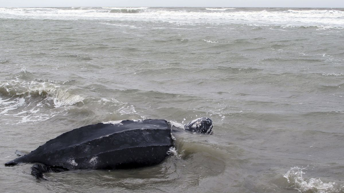 FILE - In this March 12, 2015, file photo, a rare leatherback sea turtle named Yawkey moves off...