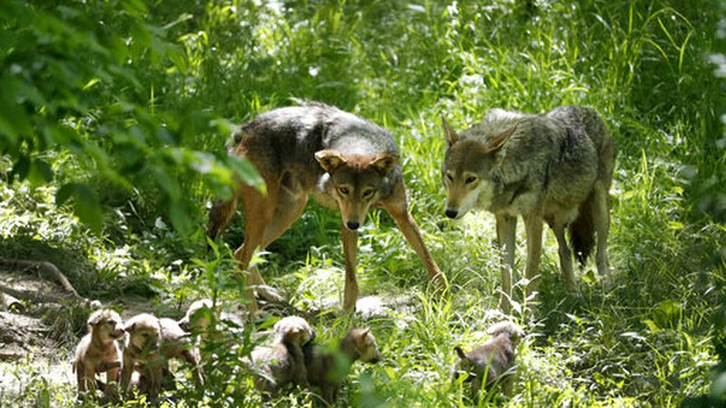 More Red Wolves to be released into the wild in Eastern Carolina