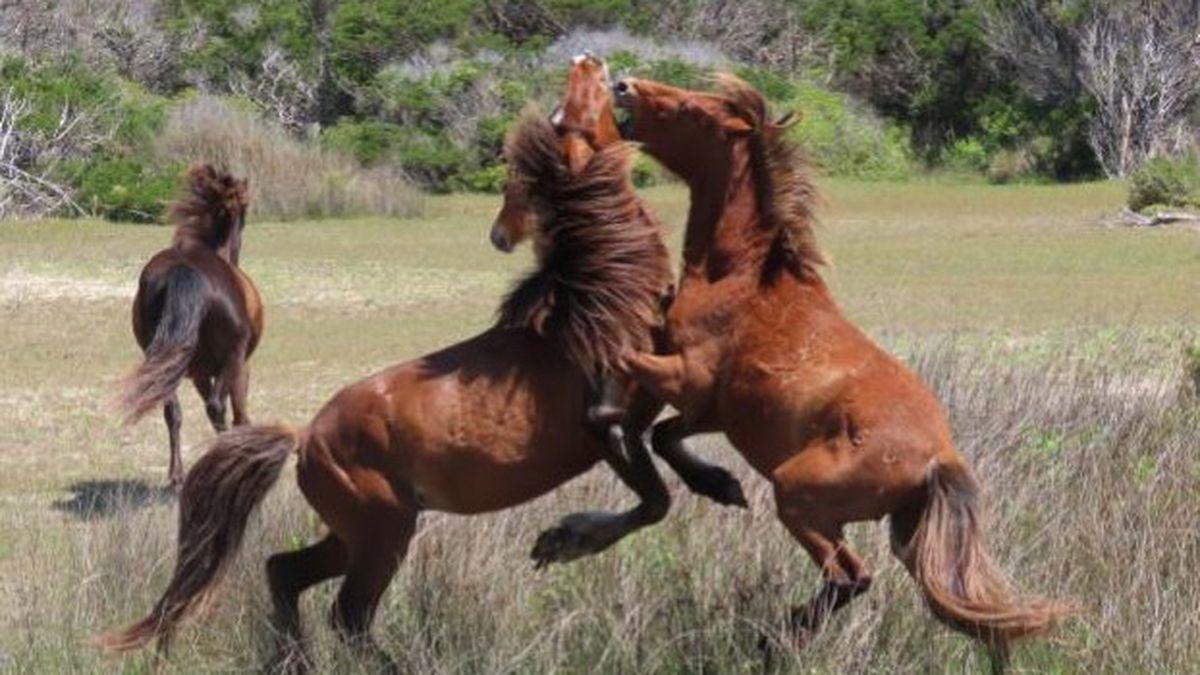 117 horses make up Shackleford Banks herd