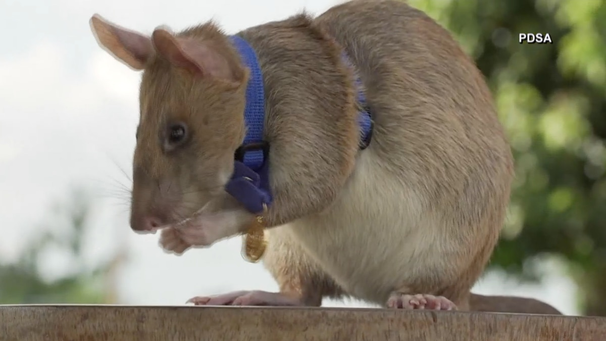 Demining rat in Cambodia gets gold medal for work.