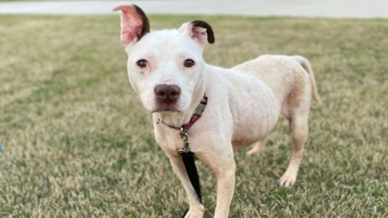 This week's pet of the week is seven-year-old pit bull mix who has had quite the journey.