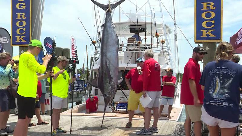 This 448.8-pound marlin was caught on the first day of the tournament.