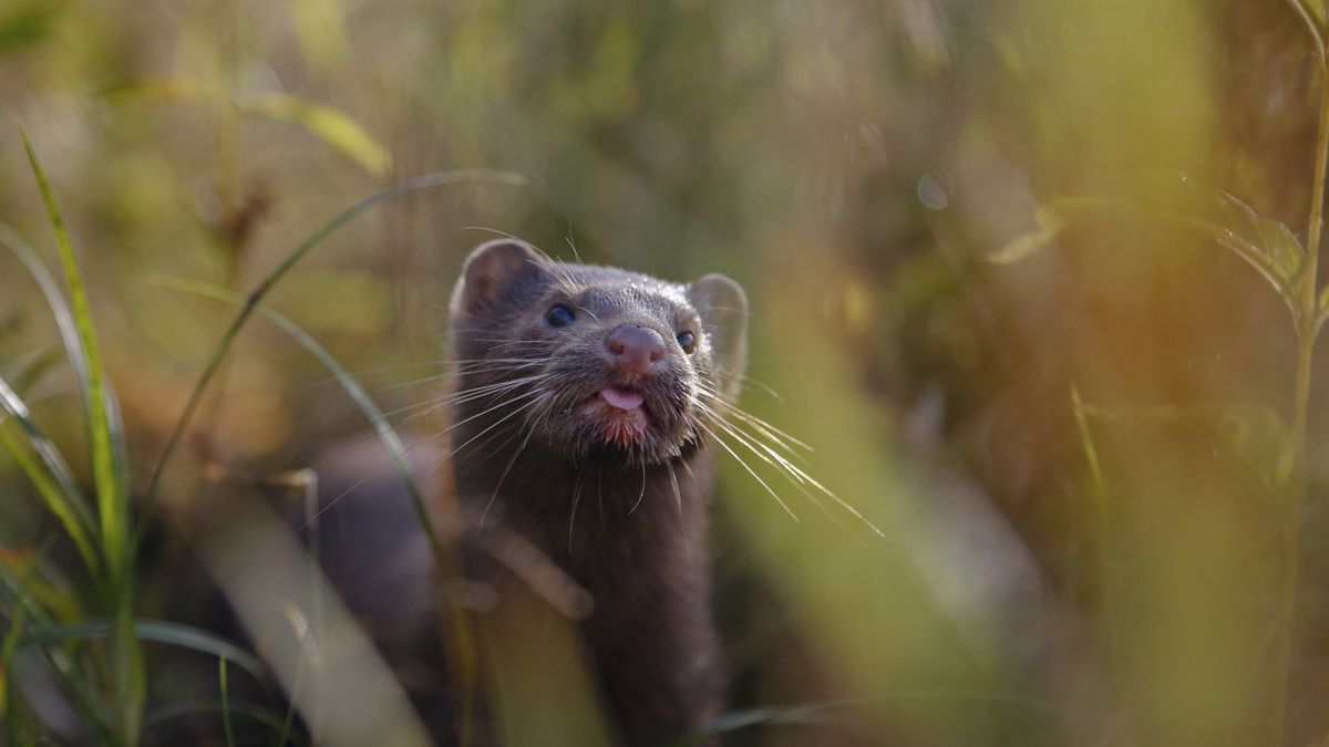In this Sept. 4, 2015 file photo, a mink sniffs the air as he surveys the river beach in search...